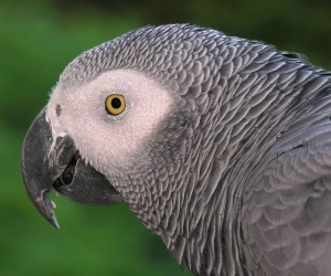 African Grey Head Shot
