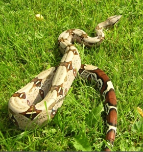 Red-Tail Boa